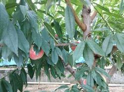 DSC_0009桃の木.JPGのサムネール画像のサムネール画像