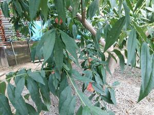 DSC_0010桃の木.JPG